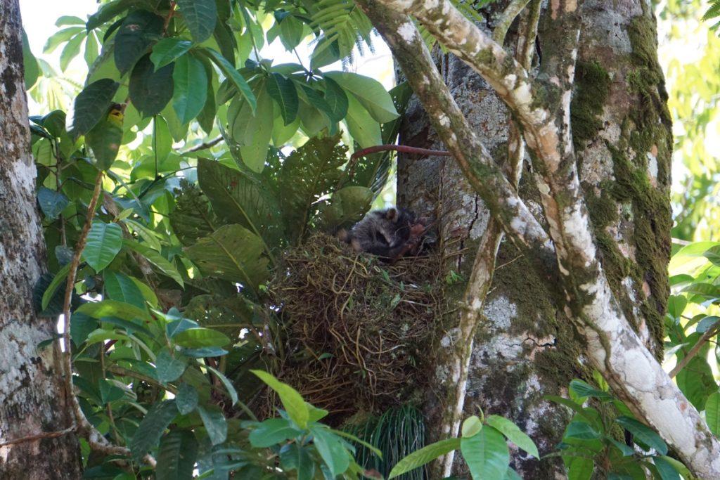 Racoon Costa Rica